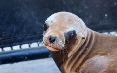 Major Disease Strikes California Sea Lions