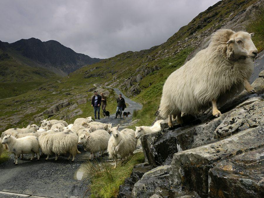 Morning at Hafod y Llan farm with John Till, farm manager, and his crew as they move sheep back up into the hills of Snowdownia National Park.  The farm is owned by the National Trust.