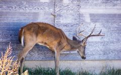 Chronic Wasting Disease Affecting Nation's Elk and Deer